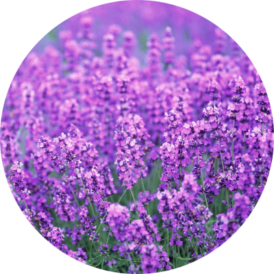 section-images-lavender